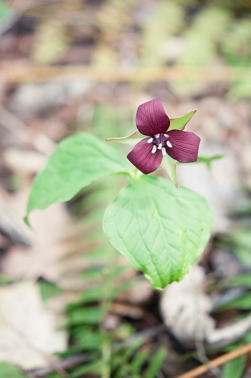 Trillium blooming on the forest floor in Ravensburg State Park in PA.