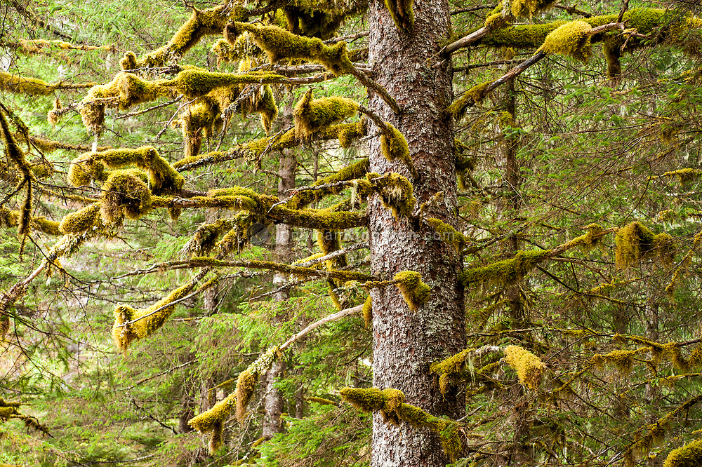 Moss covered tree in the Tongass National Forest, Alaska.