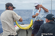 skipper Steve Campbell attaches a strop to control the fish, as mate Rooster Morehead boats a mahimahi, dorado, or dolphinfish, Coryphaena hippurus, on charter boat Reel Addiction, Vava'u, Kingdom of Tonga, South Pacific