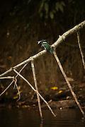 Amazon Kingfisher (Chloroceryle amazona)<br /> Rainforest<br /> Rewa River<br /> Iwokrama Reserve<br /> GUYANA. South America