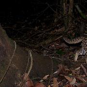 Leopard cat, Prionailurus bengalensis.