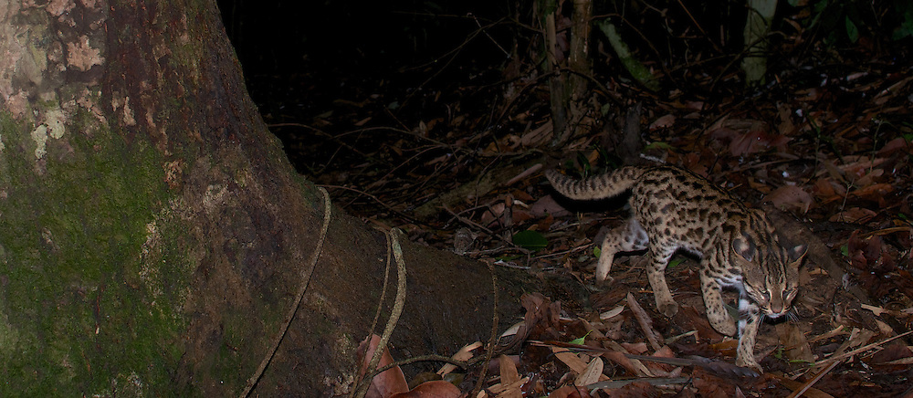 Leopard cat, Prionailurus bengalensis in Kaeng Krachan National Park, Thailand.