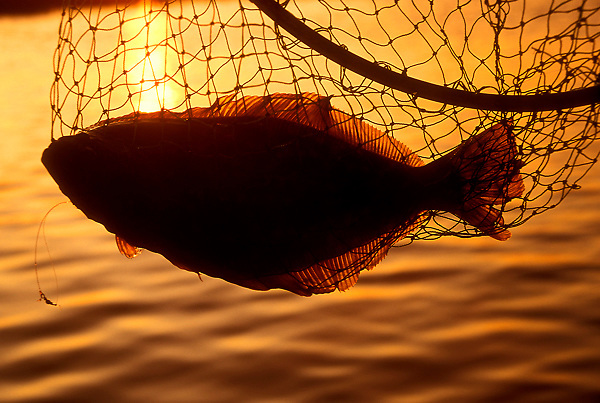 Stock photo of the silhouette of a Southern flounder - Paralichthys lethostigma, in a fishing net Galveston,Texas