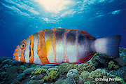 harlequin tuskfish, Choerodon fasciatus, Australia (c,dc)