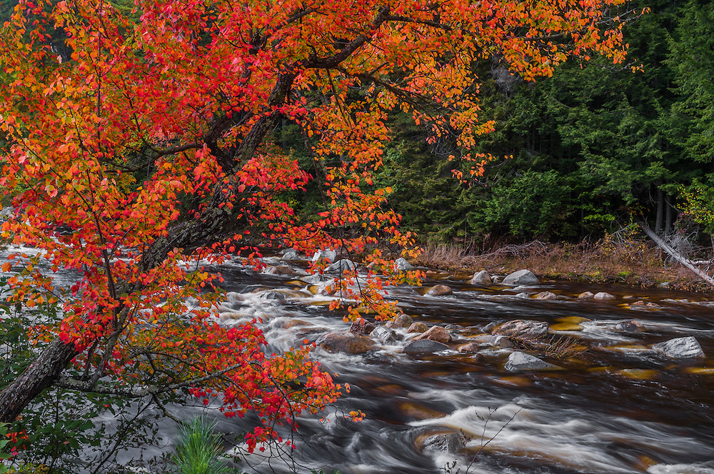 Maple in brilliant fall color along the Swift River, Albany, NH