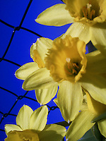 Macro shot of lovely yellow daffodils against a wire fence and bright blue sky.