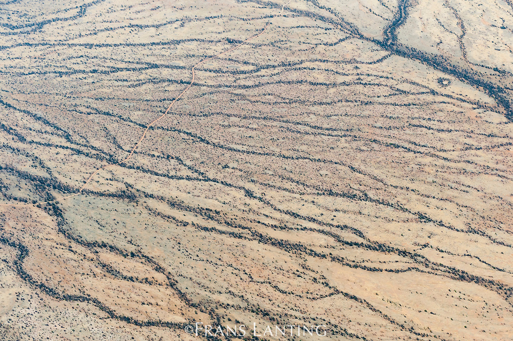 Desert vegetation growing along ephermeral water courses, (aerial), Damaraland, Namibia