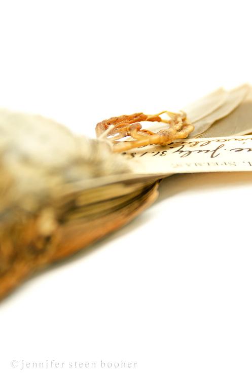 Spellman Bird Collection: Zonotrichia albicollis, July 31 [date obscured]. No.573