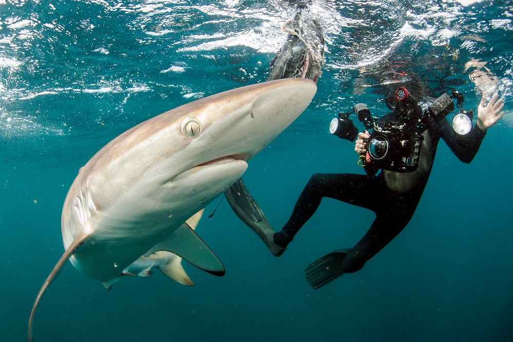 A diver swims with a Silky Shark, Carcharhinus falciformis, offshore Jupiter, Florida, United States.