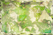 Retro vintage abstract background of English ivy with copy space for text. Colors are green, brown, tan and maroon.