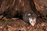 Virginia opossum  or North American Oppossum (Didelphis virginiana)<br /> United States: Alabama: Tuscaloosa Co.<br /> Tulip Tree Springs off Echola Rd.; Elrod<br /> 1-Feb-2017<br /> J.C. Abbott &amp; K.K. Abbott<br /> captured with trap camera