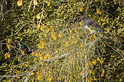 A tui and New Zealand wood pigeon briefly tolerate each other's close proximity on a kowhai tree.