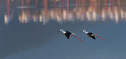 Two black-winged stilts (Himantopus himantopus) coming in for landing at Lake Bogoria, Kenya.