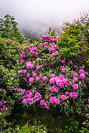 Catawba Rhododendron along the Appalachian Trail at Carver's Gap Tennessee.