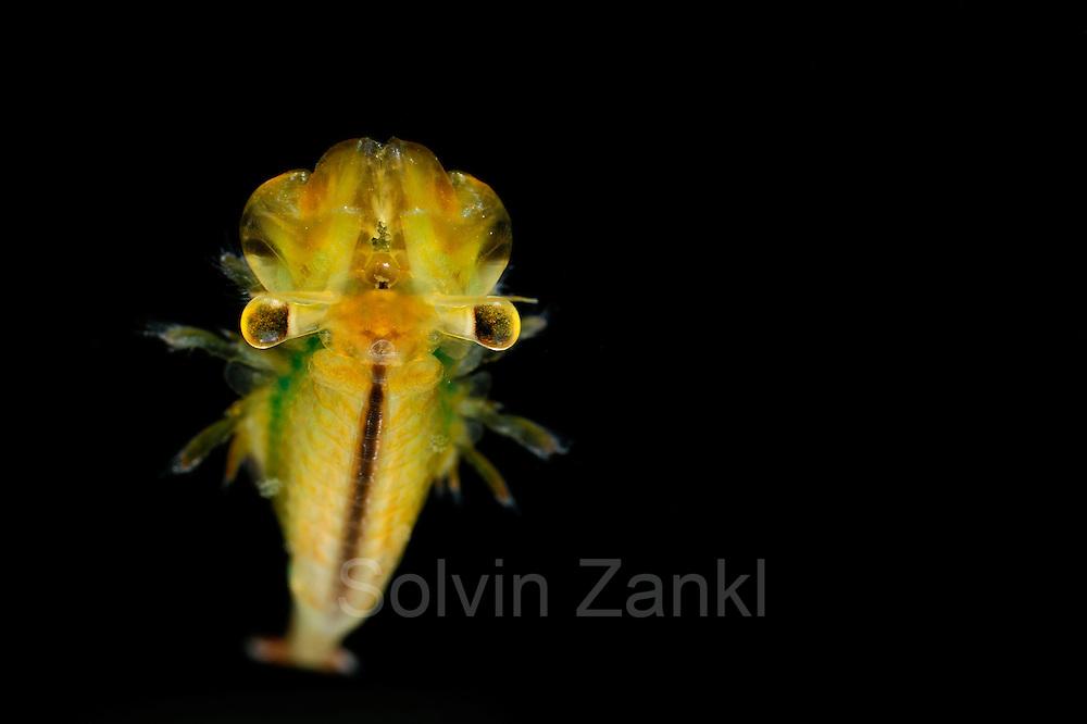 [captive] Fairy Shrimp (Eubranchipus grubii) male   Frühjahrsfeenkrebs (Eubranchipus grubii)
