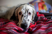 """English Setter Welpe """"Rudy"""" liegt am 05.09. 2017 im Bett in Prag.  Rudy wurde Anfang Januar 2017 geboren und ist gerade zu seiner neuen Familie umgezogen."""