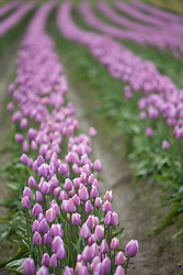 North America, United States, Washington, Mount Vernon, rows of purple tulip at Tulip Town during Skagit Valley Tulp Festival held annually in  April. PR