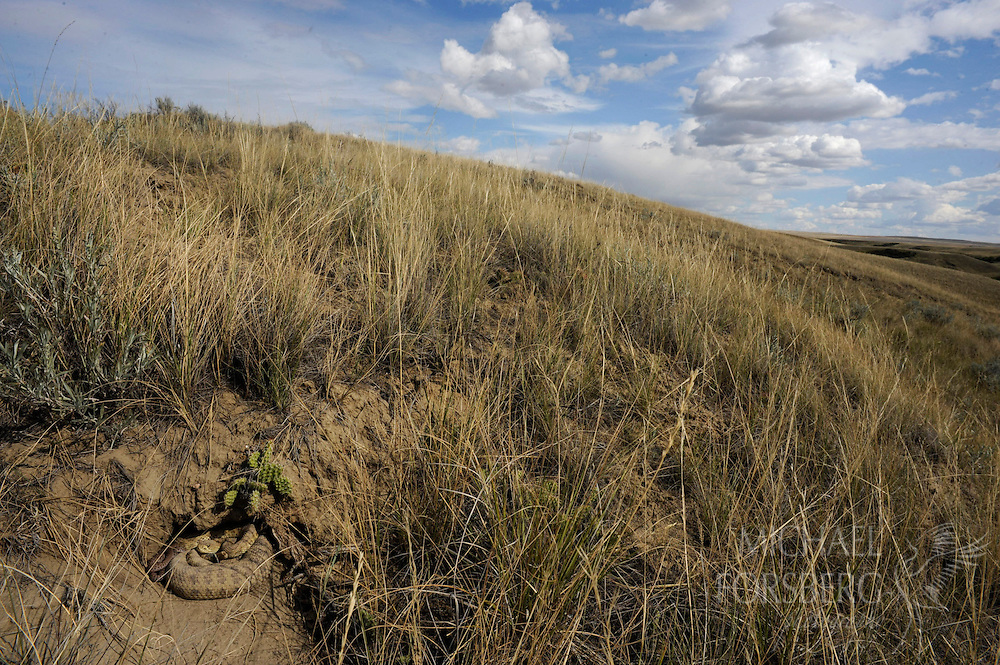 A prairie rattlesnake (Crotalus viridis) guards the young in its hillside den.  During their reproductive cycles, females may go as long as 20 months without food.  In the Northern Plains, this species migrates farther than any other terrestrial snake int he world -- up to 32 miles roundtrip.  Peigan Creek Conservation Site, Alberta, Canada.
