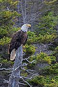Bald Eagle -  Haliaetus leucophalus sitting in a dead tree