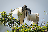 A black-headed ibis feeds a large chick, Ranganathittu Bird Sanctuary, India