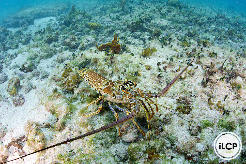 The Caribbean Spiny Lobster lives with the coral reefs, seagrass beds, and mangroves within Atlantic Ocean.  This lobster has no claws.  They have two sets of antennae - with one pair that is longer then its body.   They can reach a size of up to 60 cm (24 in) long, but typically around 20 cm (7.9 in).  The diet is mostly composed of mollusks,[3] but they also consume detritus, vegetable material, and dead animals and fish they find on the bottom.  This lobster is a popular seafood item for human consumption and are caught by commercial and small scale fisherman.