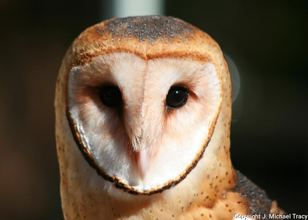 Barn Owl turns it's head at a cracking piece of hay towards the cameraman.