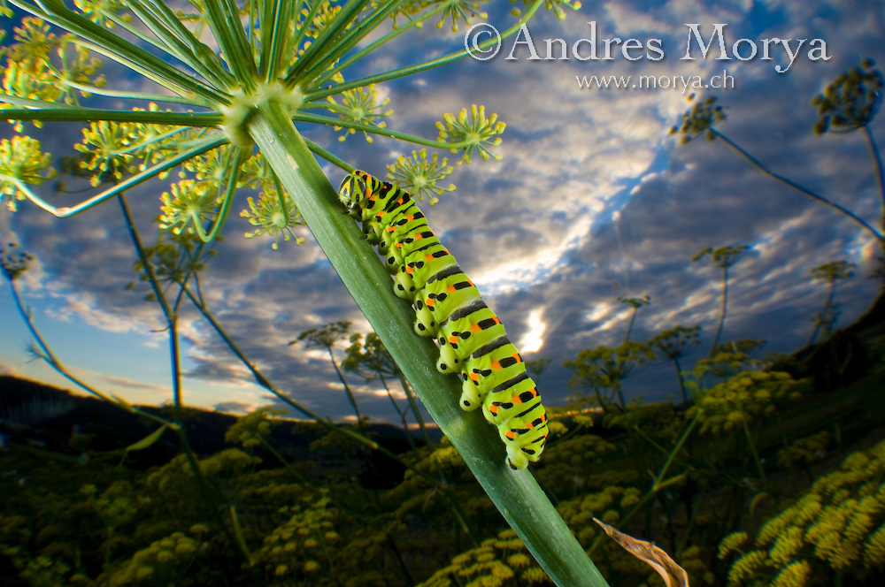 Common Yellow Swallowtail caterpillar and fisheye view to the sky (Papilio machaon), Switzerland Image by Andres Morya