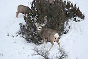 Mule deer buck (Odocoileus hemionus)in Yellowstone