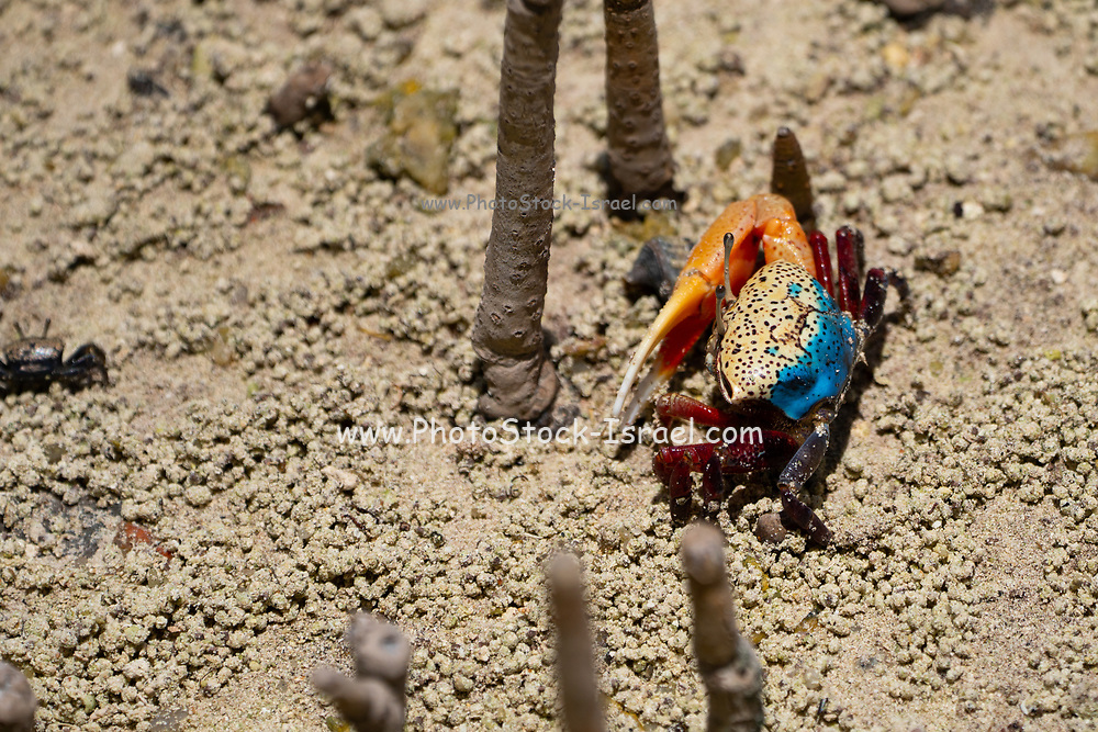 Fiddler crab (Uca tetragonon) male Photographed in a Mangrove swamp, Seychelles Curieuse Island in September