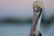 A Brown Pelican Portrait, Side View
