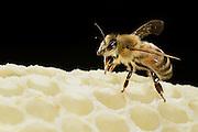 Honey bee (Apis mellifera), Kiel, Germany | Eine Wächterin der Honigbiene (Apis mellifera) am auf einer Wabe. Die Binen verteidigen Ihren Stock gegen andere Insekten und auch Honigbienen von einem anderen Volk.  Kiel, Deutschland