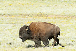 Bison bull walking through field of sage and wildflowers Vermejo Park Ranch, New Mexico, USA.