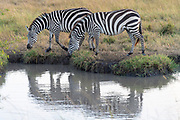 Plains Zebras (Equus burchelli) drinking from a small waterhole in Maasai Mara, Kenya.