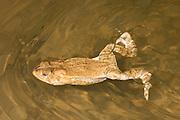 American Toad; Bufo americanus; swimming; PA, Philadelphia