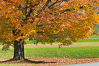 Maple tree in village green of East Randolph Vermont USA