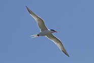 Elegant Tern photos