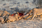 Lion family feeding on a newly killed oryx antelope in Samburu National Reserve, Kenya.