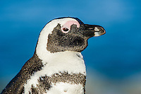 Adult African Penguin, Bettys Bay, Western Cape, South Africa