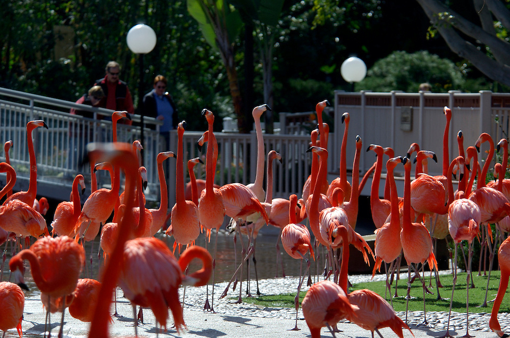 Flamingo (Phoenicopterus ruber), Sea World, San Diego, California, United States of America