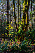 Several arms of a big leaf maple tree bend around another tree in Shelton View Forest in Bothell, Washington.