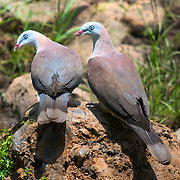 Mountain Imperial Pigeons (Ducula badia) pair in the higher sections of Huai Kha Kaeng Sanctuary showing more vibrant polarized blues than other members of the species.