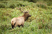 Bull Roosevelt Elk with grass on antlers