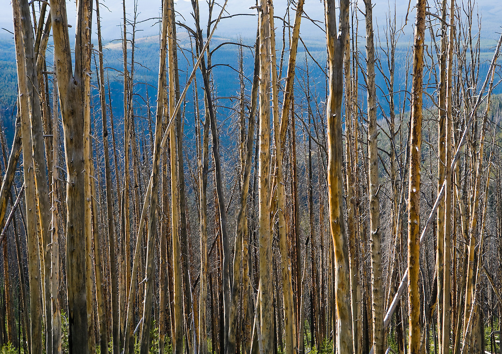 Still standing dead trees after a forest fire.  Yellowstone National Park, Wyoming, USA.