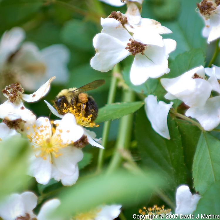 Bee on wild raspberry flowers. Backyard spring nature in New Jersey. Image taken with a Nikon D2xs camera and 70-200 mm f/2.8 and 1.4x TC-E II teleconverter (ISO 400, 280 mm, f/4, 1/200 sec).