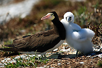 brown booby Sula leucogaster is a large seabird of the gannet family of the Abrolhos island bahia state brazil