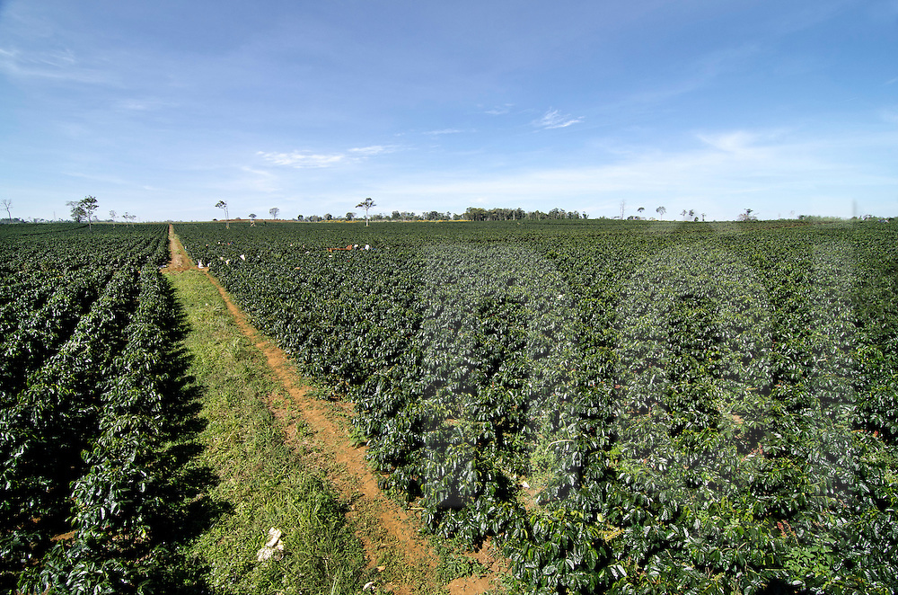 Landscape of a large Arabica coffee field where grow Brazilian coffee trees. Packsong, Laos, Asia