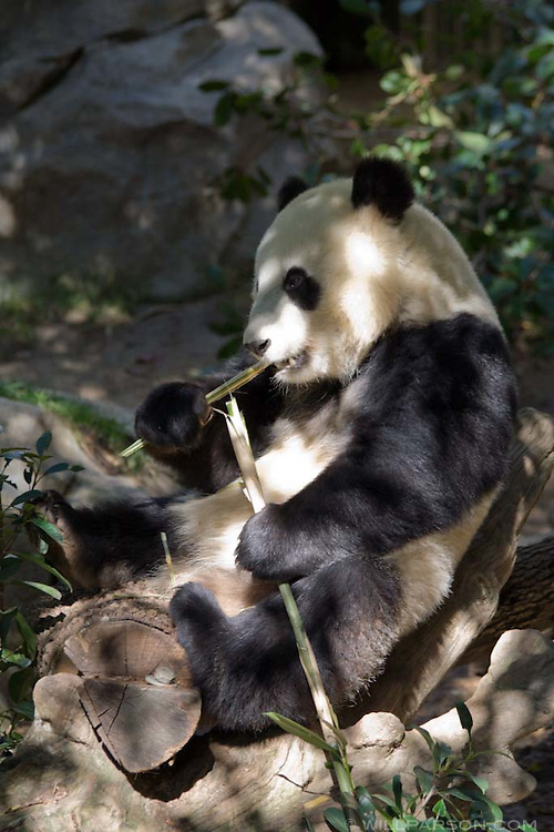 A giant panda eats at the San Diego Zoo