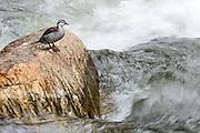 Torrent Duck, Merganetta armata, male, Rio Papallacta, Ecuador, Andes, Andean, river, stream, waterfowl