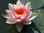 Single pink water lily in a pond, beautiful and sweet.<br /> © Laurel Smith