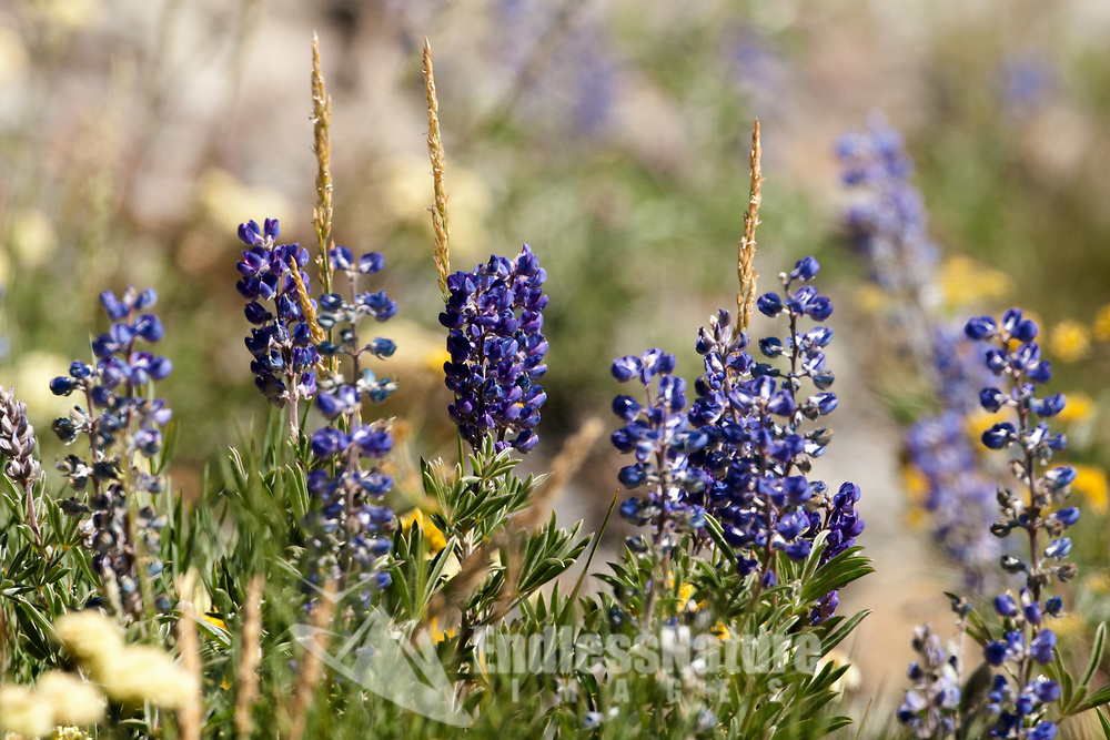A group of Evergreen Lupine growing on a hillside close to Willard Peak in northern Utah.